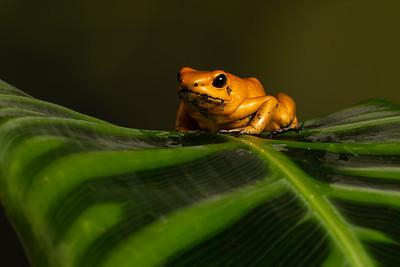 Terrible Dart Frog