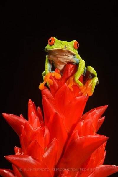 Green Tree Frog - McDonald Wildlife, Reptile Shoot