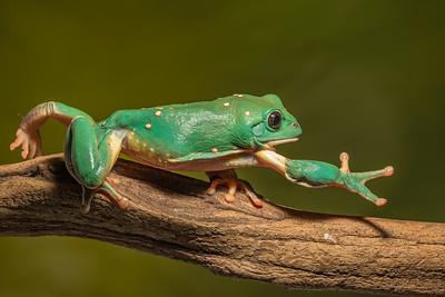 Mexican Waxy Frog