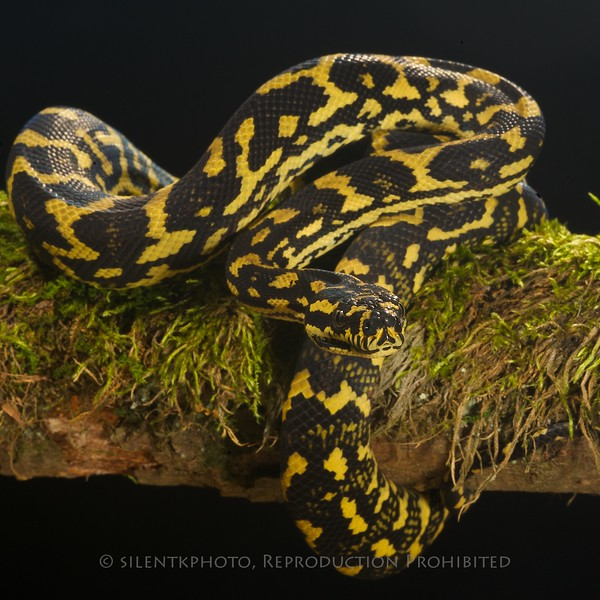 Jungle Carpet Python - McDonald Wildlife, Reptile Shoot