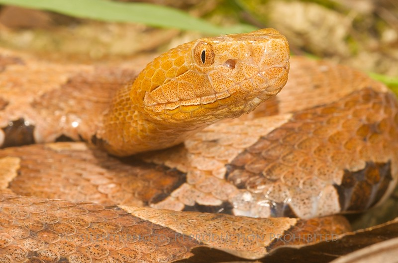 Northern Copperhead - McDonald Wildlife, Reptile Shoot
