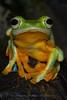 Javan Gliding Frog
