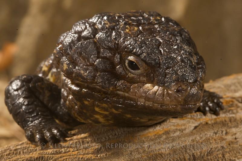 Shingle Backed Skink - McDonald Wildlife, Reptile Shoot