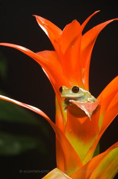 Maroon Big Eye Tree Frog - McDonald Wildlife, Reptile Shoot