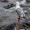 Sea Gull