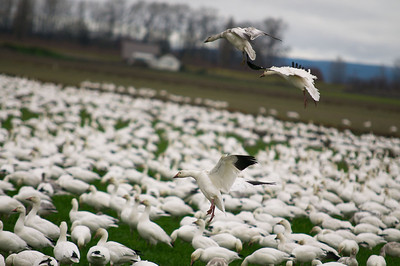 Angle of attack. #snowgeese #skagitvalley #migration