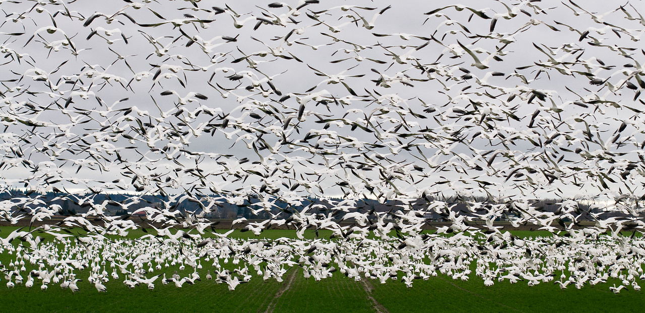 #snowgeese #skagitvalley #migration