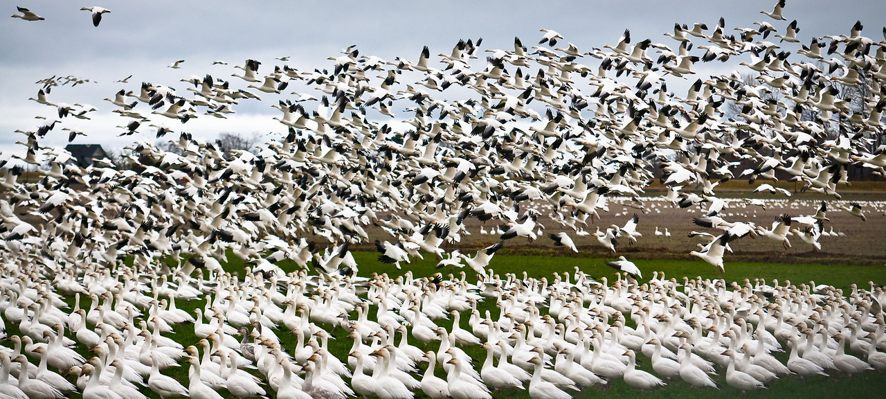 Caos and Order #snowgeese #skagitvalley #migration