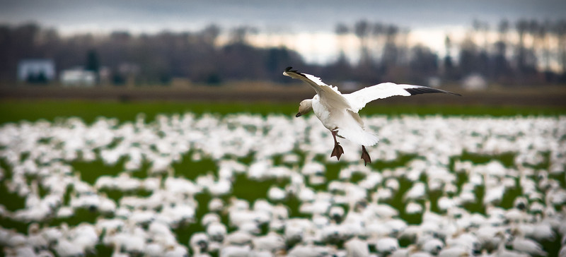 The Landing #snowgeese #skagitvalley #migration