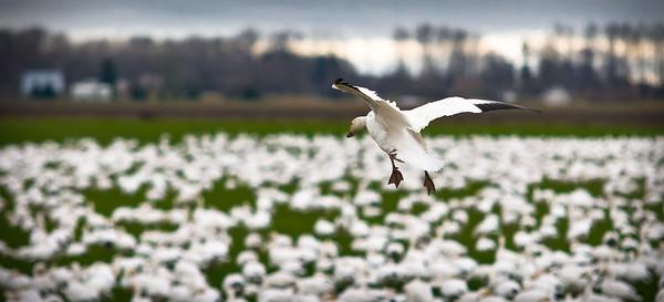 The Landing #snowgeese #skagitvalley #migration