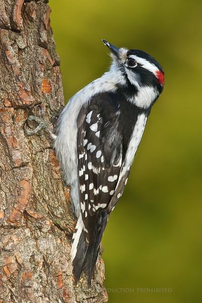 Downy Woodpecker<br /> D3S_2691