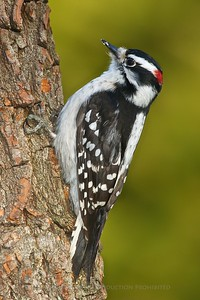 Downy Woodpecker D3S_2691