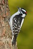 Downy Woodpecker<br /> D3S_2691