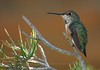 Rufous Hummingbird perched on pine branch - JW Marriott Resort - Tucson, AZ.