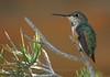 Rufous Hummingbird perched on pine branch - JW Marriott Resort - Tucson, AZ.