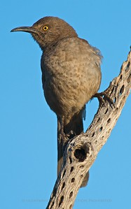 Curve Billed Thrasher, Amado, AZ