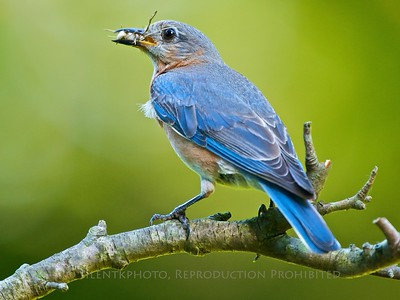 Bluebird with Tasty Bug