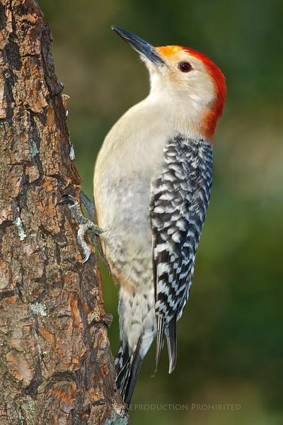 Red-bellied Woodpecker, Summit, Nj