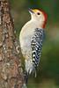 Red-bellied Woodpecker, Summit, Nj