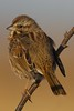 Song Sparrow - Meadowlands