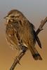 Song Sparrow - Meadowlands