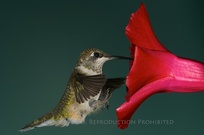 Ruby Throated Hummingbird
