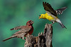 Interaction: Purple House Finch and Goldfinch