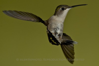Ruby Throated Hummingbird, Summit, NJ