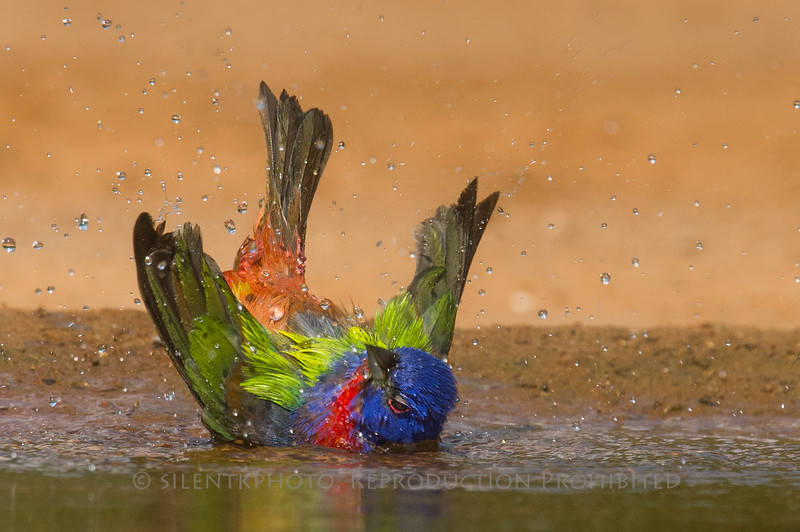 Painted Bunting Bathing (Santa Clara)