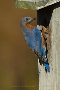 Bluebird - Glen Hurst Meadow, Warren