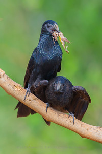 Grooved Billed Ani with Grasshopper for Mate (Santa Clara Ranch)