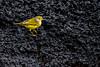 Yellow Warbler - Galapagos Volcanic Rock