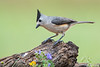 Black-crested Titmouse, Laguna Seca, TX