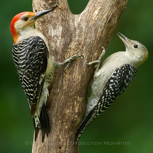Red Bellied Woodpeckers, Summit (Dad and Jr.)