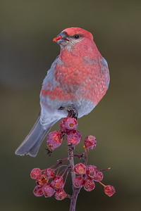 Pine Grosbeak - Anchor Point, AK