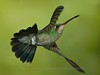 Broad-billed Hummingbird (Male)