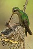 Broad-billed Hummingbird (Female) on Nest with Chick, Sonora Desert Museum