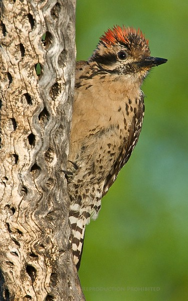 Arizona Woodpecker, Amado AZ