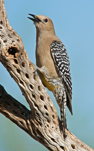 Gila Woodpecker, AZ