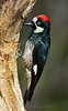 Acorn Woodpecker - Madera Canyon