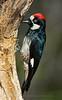 Acorn Woodpecker - Madera Canyon