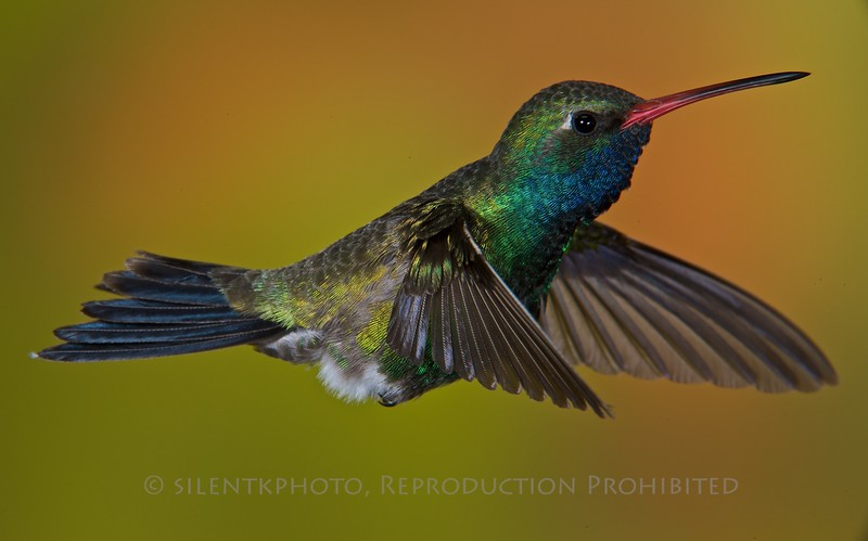Broad-Billed Hummingbird (Male): Madera Canyon, AZ