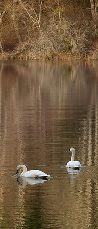 Trumpeter Swan   This is a pair that winter over on Orcas Island on a small lake. In a quiet section of the island, and have done so for several years. #trumpeterswans #orcasisland