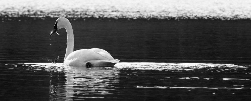 Trumpeter Swan   This is one of a pair that winter over on Orcas Island on a small lake in a quiet section of the island, and have done so for several years. #trumpeterswans #orcasisland
