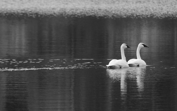 Trumpeter Swan's:   This pair winter over on Orcas Island on a small lake in a quiet section of the island, and have done so for several years. #trumpeterswans #orcasisland