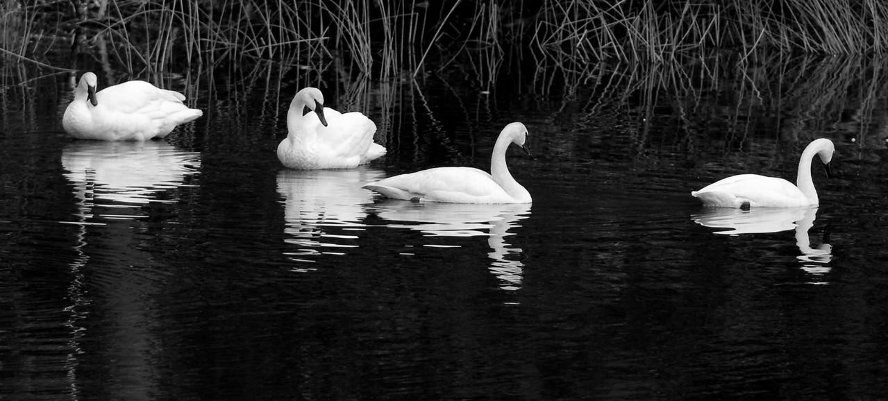 Trumpeter Swans: Orcas Island Wa #trumpeterswans #orcasisland