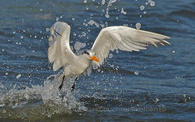 Tern - Jensen Beach, Florida