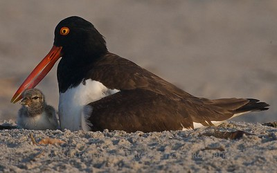 American Oystercatcher wtih chick, Nickerson Beach, LI