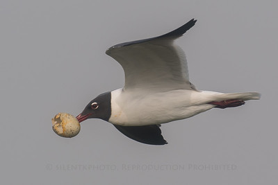 Black Faced Gull with Egg shell