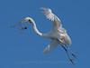 Great White Heron - St Augustine Alligator Farm, FLA